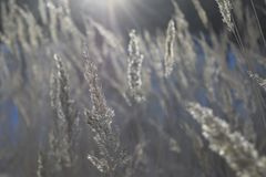 A stalk of fluff is covered with hoarfrost. On a blurred background Royalty Free Stock Photos