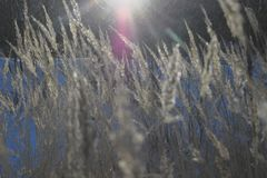 A stalk of fluff is covered with hoarfrost. On a blurred background Stock Images
