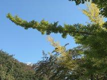 Stalk of Ginkgo tree. Stalk of Ginkgo biloba or Maidenhair tree royalty free stock photo