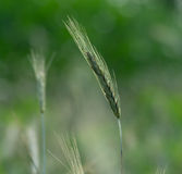Stalk of Grain Stock Photo