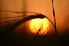 Stalk of grain at sunset. Contour ripe stalk of grain growing in a field at sunset Royalty Free Stock Photography