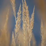 Stalk Grass Stems, Large Detailed Texture Macro Closeup, Yellow, Beige, Textured Background, Gentle Bokeh, Blue Autumn Sky. Stalk Grass Stems, Large Detailed royalty free stock image