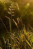 The stalk of grass in sunbeams of the sun Royalty Free Stock Photo