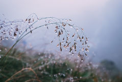 Stalk of grass in water drops Royalty Free Stock Image