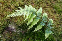 A stalk of green fern with leaves over blurred moss in the background. royalty free stock photo