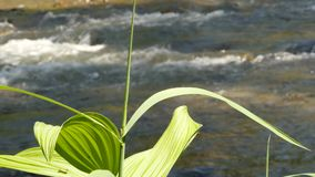 Stalk of green grass on a Rapid water stream background. Small mountain river. 4K. Rapid water stream flowing among stones. Small mountain river lowing between stock video footage