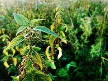 Stalk of green nettle. On the lawn on a sunny day royalty free stock photo
