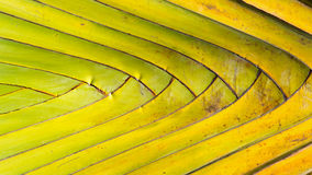 Stalk leaf of bases on a Travelers Palm Royalty Free Stock Photo