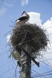 Stalk in nest. Stalk standing in nest on top of telephone poles cleaning itself Royalty Free Stock Photography