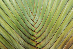 Stalk palm. Texture of leaf stalk of  palm  used as nature background Royalty Free Stock Image