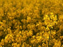 Stalk of rape in the spring yellow field bloominf flowers Stock Images