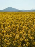 Stalk of rape in the spring yellow field of blooming rapes Stock Photo