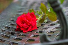 A stalk of red rose Royalty Free Stock Image