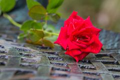 A stalk of red rose Royalty Free Stock Photos