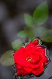 A stalk of red rose Stock Images