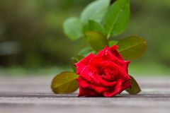 A stalk of red rose Stock Photos