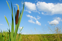 A stalk of reed against the sky Stock Images