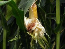 Mangled ear of corn on cornstalk in FingerLakes NYS. Stalk shows signs of damage to ear of corn from critter, found along edge of crop field stock images