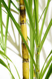 Stalk of sugarcane Stock Images