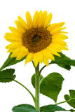 The stalk of a sunflower in full bloom. White background stock photography