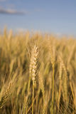 Stalk of Wheat. In a field with a blue sky in the background Stock Photography