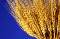 Stalk of wheat Stock Images