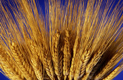 Stalk of wheat Stock Photos