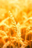 Stalk of wheat Stock Photo