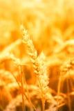 Stalk of wheat. Stalk of golden wheat in wheat field Stock Photo