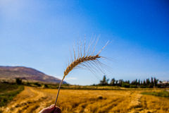 Stalk of wheat Royalty Free Stock Image