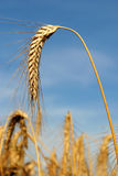 A Stalk of Wheat Isolated against a Blue Sky Stock Photo