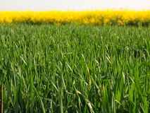 Stalk of wheat in the spring green field of blooming rapes, the green stalks of bottom side. Of plants with bright gold tops Royalty Free Stock Image