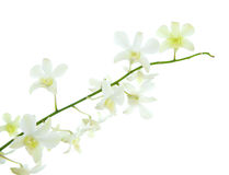 Stalk of white dendrobium orchid stock image