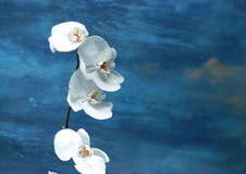 A stalk of white orchids Stock Photo