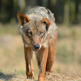 Stalk. Wolf stalking forwards, piercing eyes intent on its prey Royalty Free Stock Photos