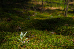 The stalk of the young grass on the moss Stock Photography