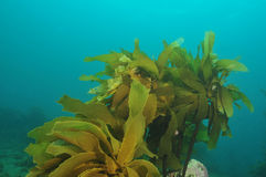 Stalked kelp Stock Photos