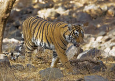 Stalker. Royal Bengal, wild, tiger stalks effortlessly through the forest Royalty Free Stock Photography