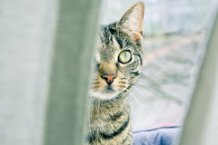 Stalker cat. Tabby cat stalking from behind a curtain Royalty Free Stock Photo