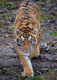 Stalking Amur tiger. Heading straight toward the camera Royalty Free Stock Photography