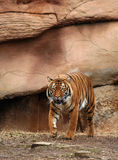 Stalking Bengal Tiger. Bengal tiger pacing in captivity Royalty Free Stock Photography