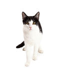 Stalking Black and White Cat Royalty Free Stock Photography
