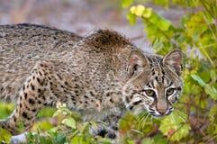 Stalking Bobcat. Bobcat stalking prey in the woods Royalty Free Stock Photos