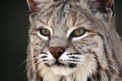 Stalking Bobcat Stock Image