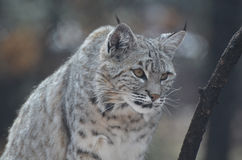 Stalking Canadian Lynx Royalty Free Stock Images
