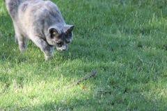 Stalking cat. House cat stalks lizard in the backyard Stock Image