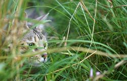 Stalking Cat In Long Grass Stock Images