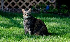 Stalking cat Royalty Free Stock Photography