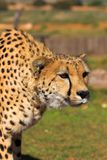 Stalking Cheetah Royalty Free Stock Image