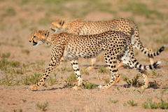 Stalking Cheetahs Royalty Free Stock Images